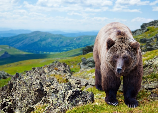 Brown bear in mountains Free Photo
