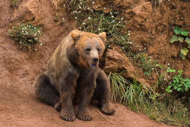 Brown bear in a nature reserve Premium Photo