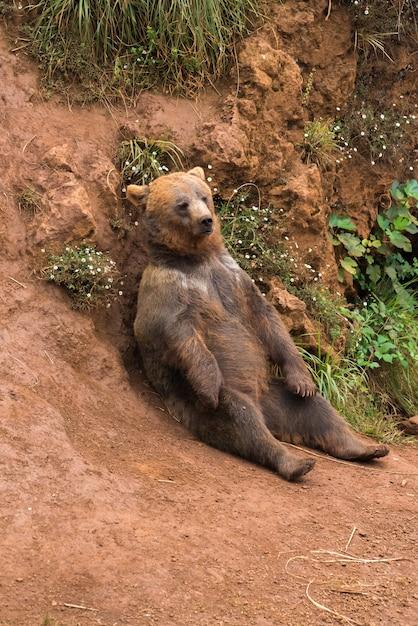 Brown bear in a nature reserve Premium Photo