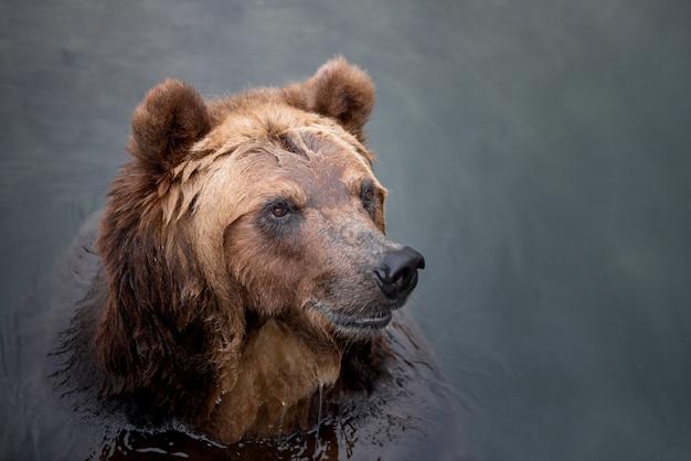 Бурый медведь, купание в реке Premium Фотографии