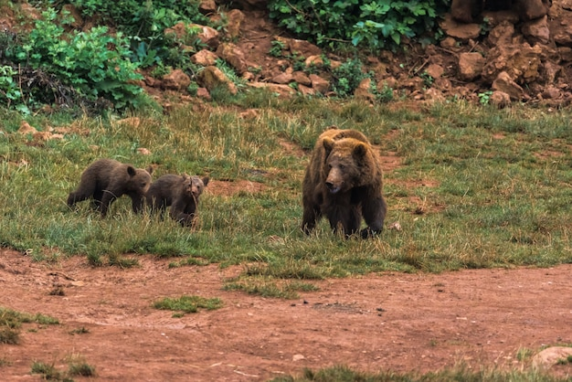 Brown bear and their puppies in a nature reserve Premium Photo