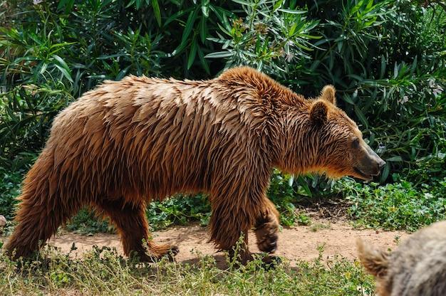 Brown bear walking Premium Photo