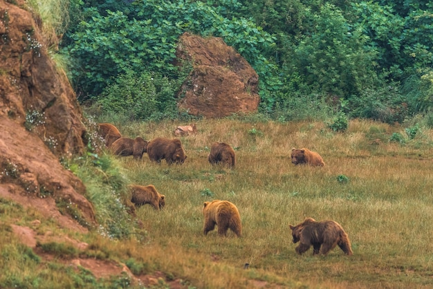 Brown bears in a nature reserve Premium Photo