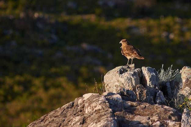 岩の上に立っている茶色の鳥 無料写真
