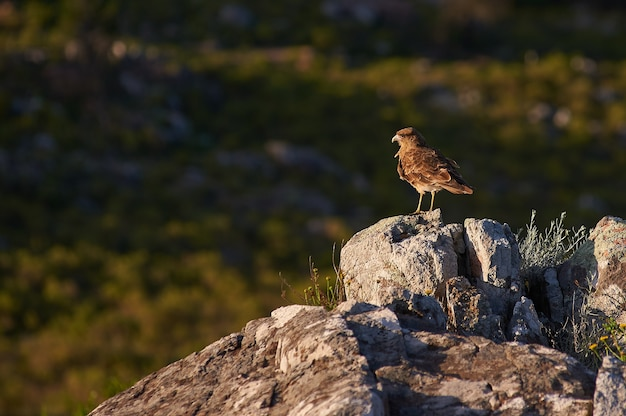 Brown bird standing on a rock Free Photo