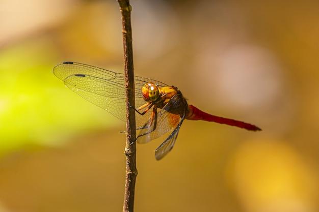 Libellula marrone e nera appollaiata sul gambo marrone Foto Gratuite