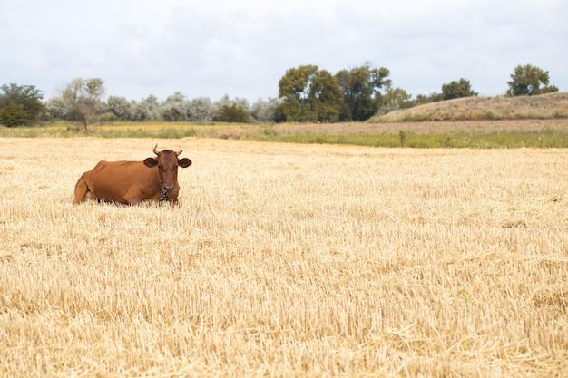 Коричневая корова, пасущаяся в желтом поле Бесплатные Фотографии