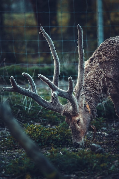 Brown deer eating grass in a fenced area Free Photo