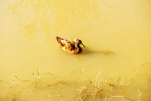 自然環境、日光の下で池に浮かぶ茶色のアヒル Premium写真