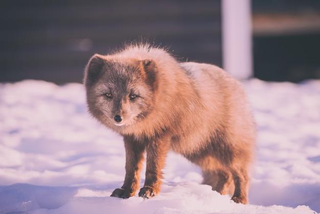 昼間は雪に覆われた地面に立っている茶色のキツネ 無料写真