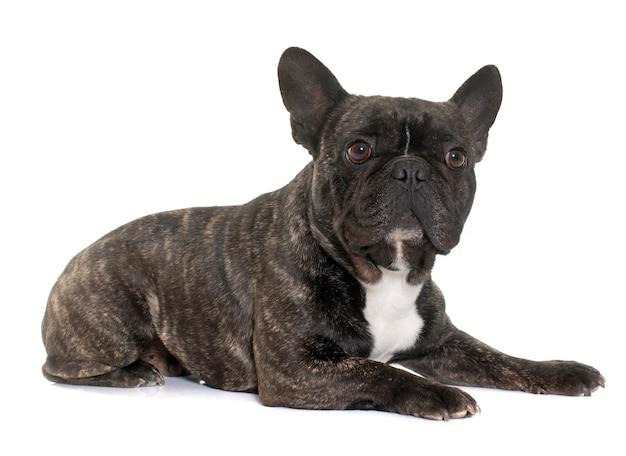 Brown french bulldog Premium Photo