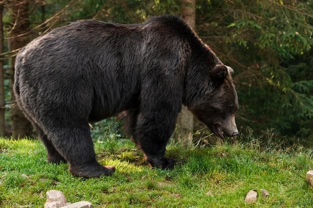 Коричневый гризли в лесу Бесплатные Фотографии