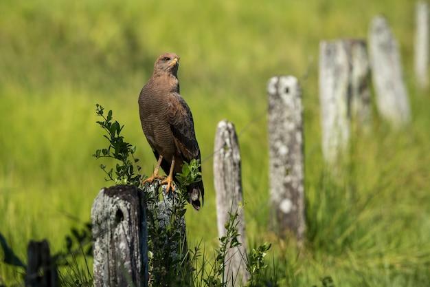 Cowbird dalla testa marrone arroccato su un recinto di pietra in un campo verde durante il giorno Foto Gratuite