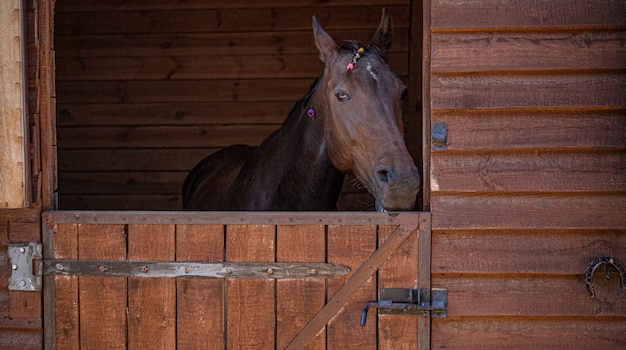 Brown horse look out from stable window. portrait of farm animal. mare head in wooden paddock inside. high quality photo. Premium Photo