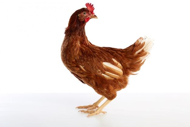 Brown hybrid hen  isolated on white Premium Photo