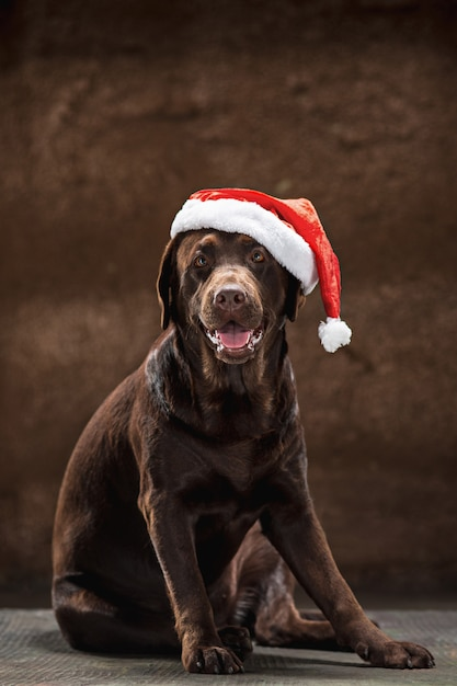 The brown labrador retriever sitting with gifts on christmas santa hat Free Photo