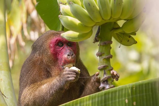 茶色の猿が木の上に座ってバナナを食べる 無料写真