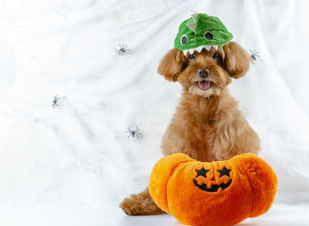 Brown poodle dog with pumpkin toy at spiders cobweb. Premium Photo