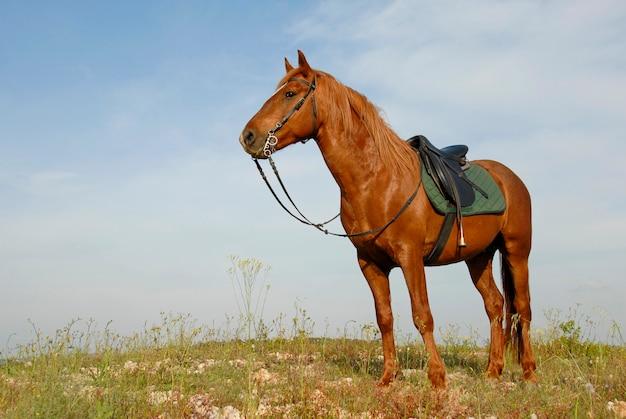 Brown stallion Premium Photo