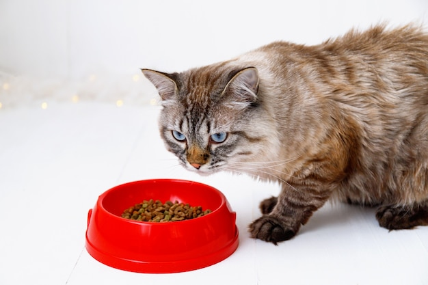 Brown tabby cat eating from a red bowl Premium Photo
