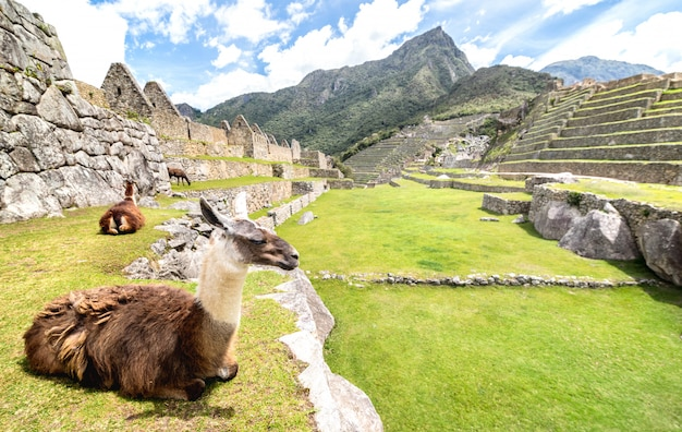 Brown and white lama resting on green meadow at machu picchu archaeological ruins site in peru Premium Photo