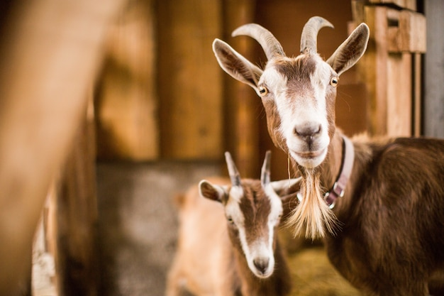 Brown and white mother and baby goats inside a barn Free Photo