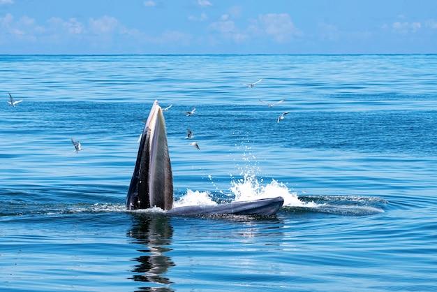 ブライドのクジラは海の上に現れています。多くのガラが飛んでいます。 Premium写真