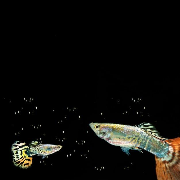 Пузыри и бетта рыбы с копией пространства Бесплатные Фотографии