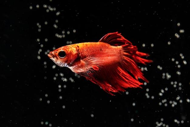 Bubbles и dumbo betta splendens борются с рыбой Бесплатные Фотографии