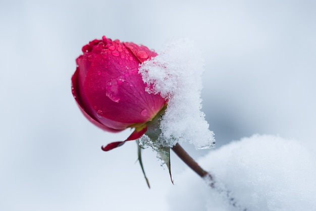 Bud of rose covered with snow, a sudden snowfall. rose flower in winter. Premium Photo