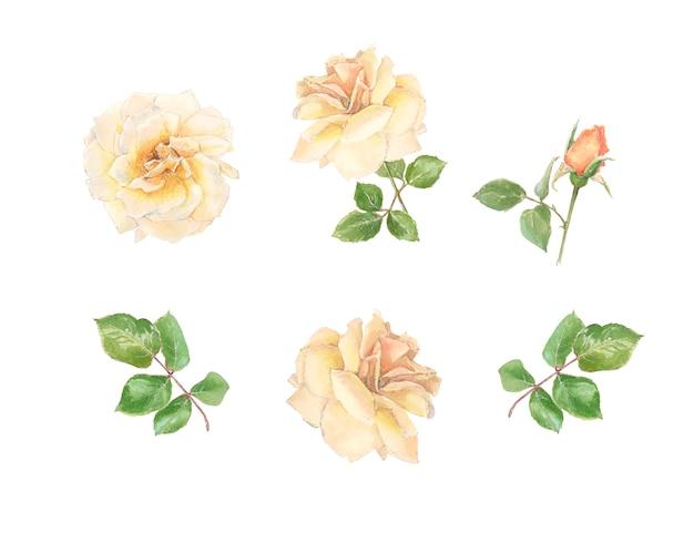 クリーム色のバラとbudのセット Premium写真