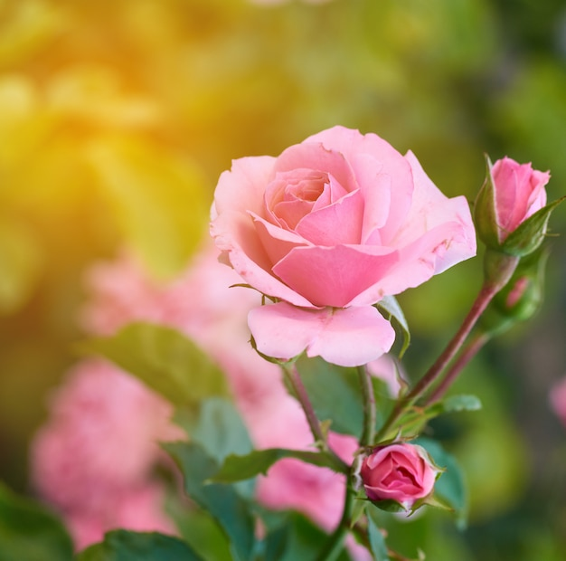 Buds of pink blooming roses in the garden Premium Photo