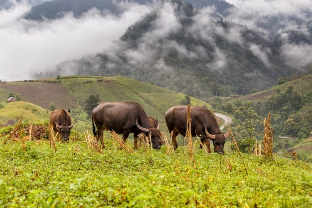Buffalo graze on high mountain at mae la noi Premium Photo