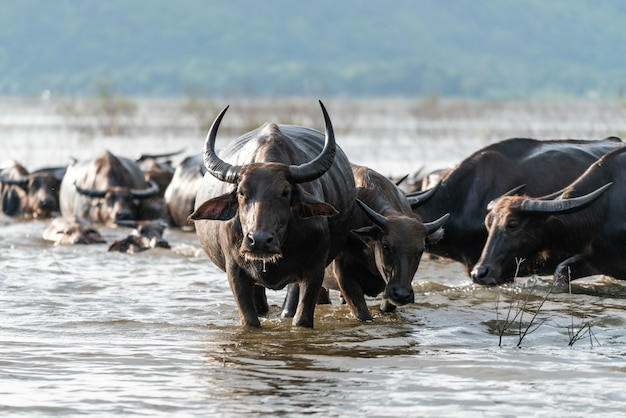 Buffalo group in a river Free Photo