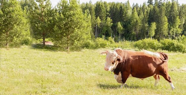 Крупный план головы быка на фоне зеленого летнего луга и леса, концепция молочных продуктов. Premium Фотографии
