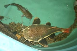 Bullhead meets redtail catfish Free Photo