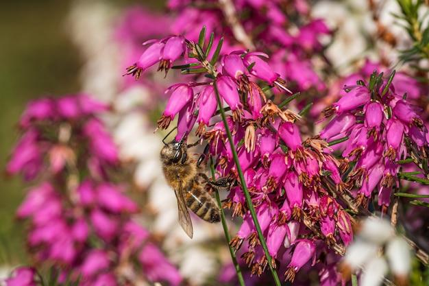 Un calabrone che raccoglie il nettare su bellissimi fiori viola della famiglia della salcerella e del melograno Foto Gratuite