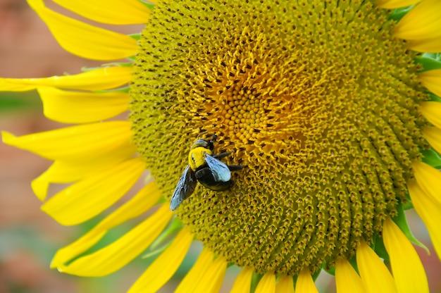 Bumblebee and sunflower Premium Photo