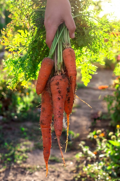 A bunch of fresh orange carrots with soil in a female hand Premium Photo