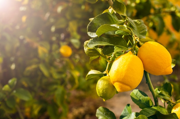 Bunch of fresh ripe lemons on a lemon tree Premium Photo