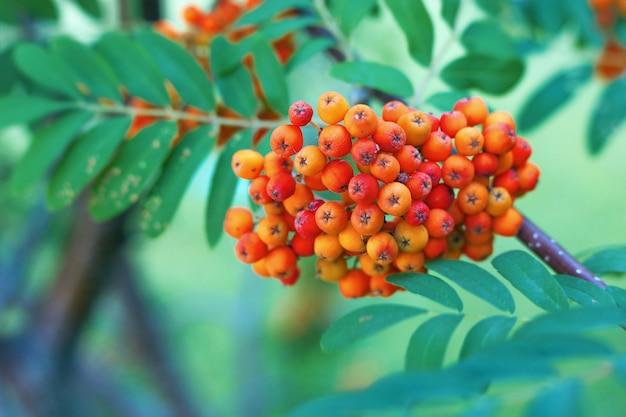 Букет из спелых натуральных лесных ягод Premium Фотографии