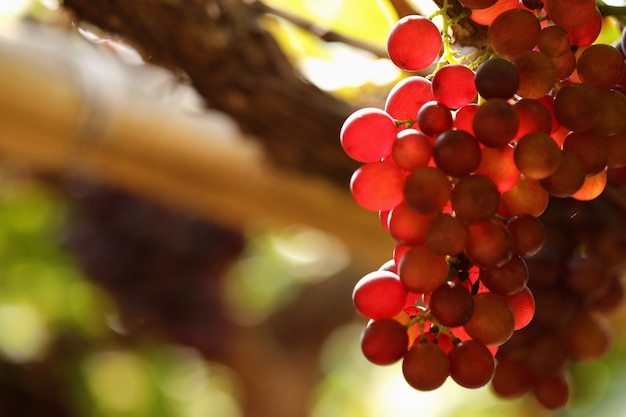 A bunch of purple grapes under the morning sun Premium Photo
