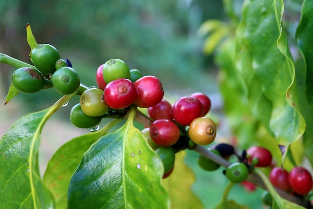 Bunch of red and green ripening coffee cherries on its branch with water droplets after the rain Premium Photo