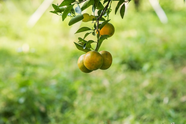 Bunch of ripe oranges hanging on a orange tree Free Photo