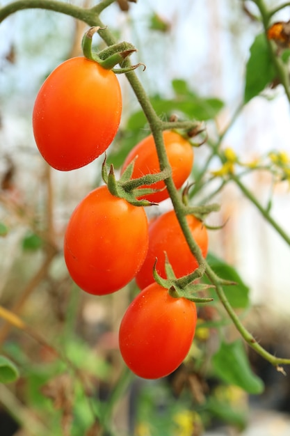 Bunch of vibrant red grape tomatoes ripening on its tree Premium Photo