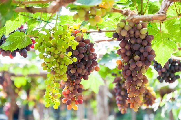 정원에서 녹색 잎 포도 나무에 매달려 와인 포도의 큼 프리미엄 사진