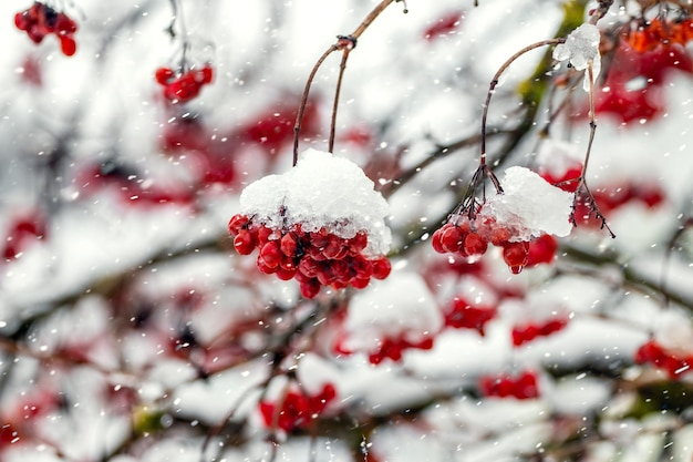 Bunches of viburnum covered with snow during a snowfall Premium Photo