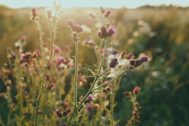 Цветок лопуха на солнце Premium Фотографии