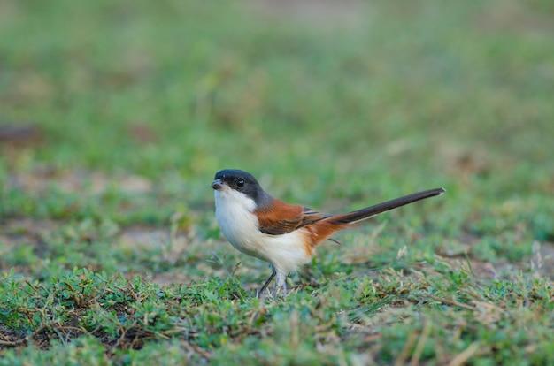 Burmese shrike on ground Premium Photo