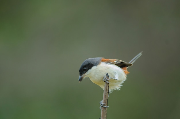 Burmese shrike (lanius collurioides) perching on a branch Premium Photo